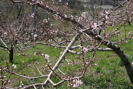 桃の花.JPG